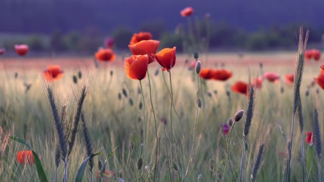 meadow with poppy flowers - poppy plant stock videos and b-roll footage