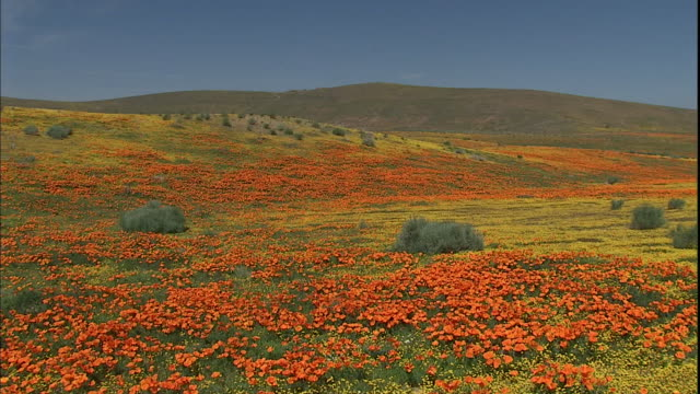 vidéos et rushes de meadows of california poppies and yellow wildflowers spread across rolling hills. - fleur sauvage