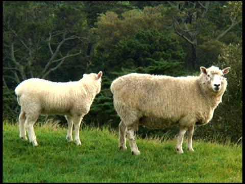 Essen: Baby Lamm-Feeds von Mutter Schaf