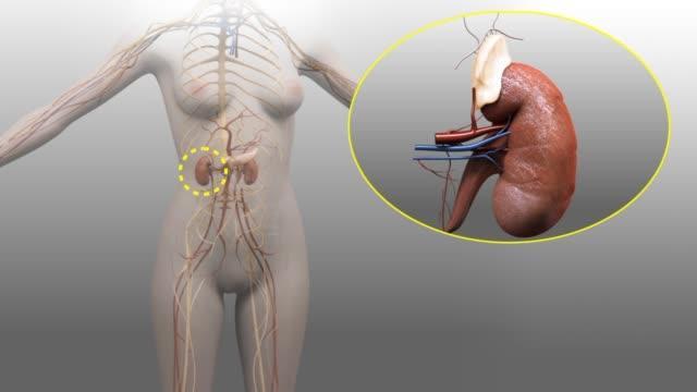 3d medical animation - adrenal glands - ghiandola surrenale video stock e b–roll