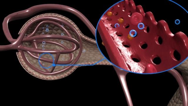 3d medical animation - glomerular filtration - capillare corpo umano video stock e b–roll