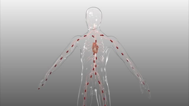 vidéos et rushes de 3d medical animation - heart pumping blood to all parts of the body - anatomie