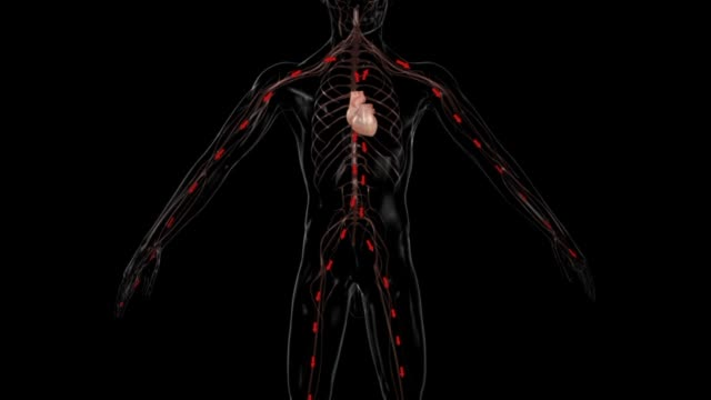 3d medical animation - heart pumping blood to all parts of the body - torso stock videos & royalty-free footage
