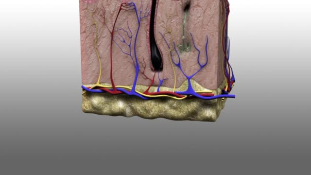 3d medical animation - layer of the epidermis - biomedical animation stock videos & royalty-free footage