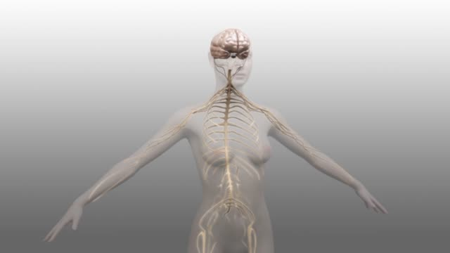 vídeos de stock e filmes b-roll de 3d medical animation - nervous system - sistema nervoso humano