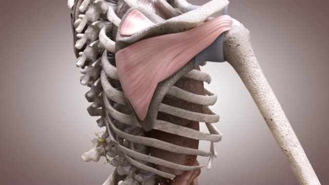 3d medical animation - rotator cuff - human muscle stock videos & royalty-free footage