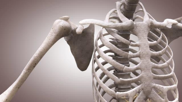 3d medical animation - structure of shoulder bones - thoracic vertebrae stock videos & royalty-free footage