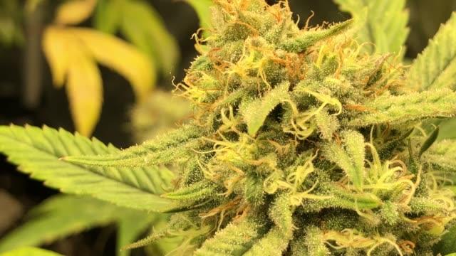 vídeos de stock, filmes e b-roll de medical cannabis gorilla glue sativa dominant strain close up - cannabis sativa