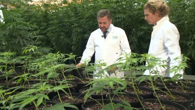 medical cannabis products to be made available on prescription; uk; cannabis plants grown for medical use / chris tovey and dr rajesh munglani... - prescription medicine点の映像素材/bロール