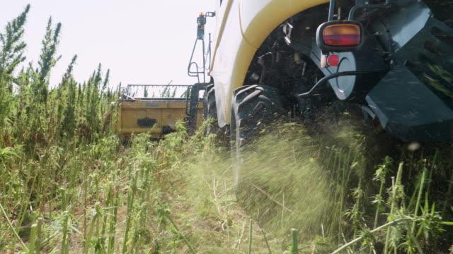 piantagione medica di marijuana. primo piano di una mietitrebbia che raccoglie il raccolto durante la stagione del raccolto in una fattoria biologica in una luminosa giornata di sole. canapa per la raccolta del trattore. - canapa video stock e b–roll