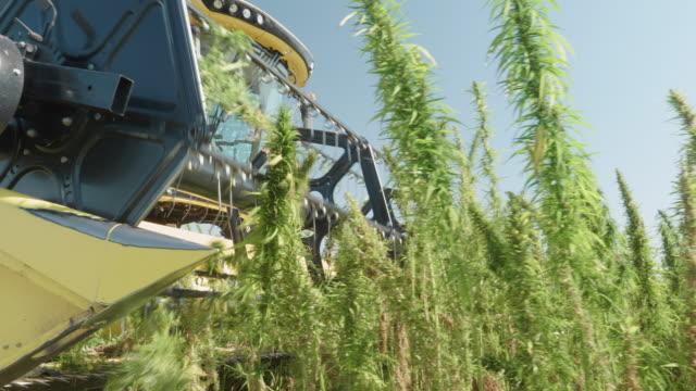 vidéos et rushes de plantation de marijuana médicale. fermez-vous vers le haut d'une moissonneuse-batteuse rassemblant la récolte pendant la saison de récolte dans une ferme biologique par une journée ensoleillée. tracteur de récolte de chanvre. - graine
