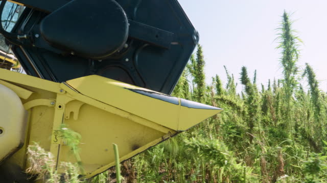 medical marijuana plantation. close up of a combine harvester gathering the crop during the harvest season in an organic farm on a bright sunny day. tractor harvesting hemp. - tractor stock videos & royalty-free footage