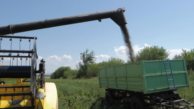 medical marijuana plantation. slow motion, close up of a combine harvester filling a trailer during the harvest season in an organic farm on a bright sunny day. tractor harvesting hemp. - agricultural occupation stock videos & royalty-free footage