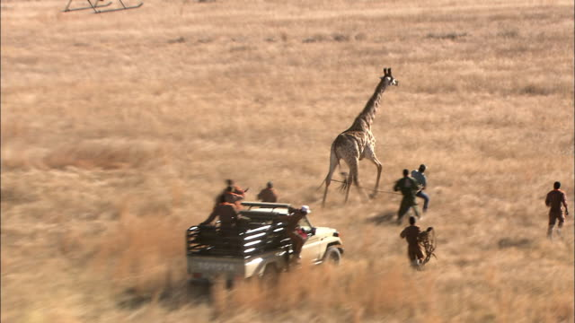 ws ts pov zi aerial medical team restraining giraffe on ground / kruger national park, mpumalanga, south africa - caccia sport con animali video stock e b–roll