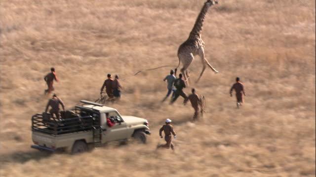 stockvideo's en b-roll-footage met a medical team runs to capture a giraffe fleeing across kruger national park. - wildreservaat