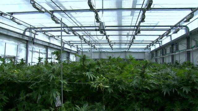 Medicinal cannabis being grown