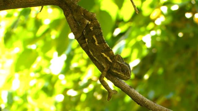 vidéos et rushes de mediterranean chameleon (chamaeleo chamaeleon) - caméléon