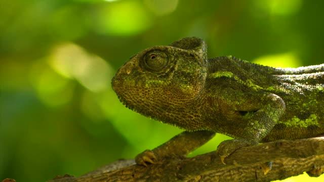 vídeos de stock, filmes e b-roll de mediterranean chameleon (chamaeleo chamaeleon) - camuflagem