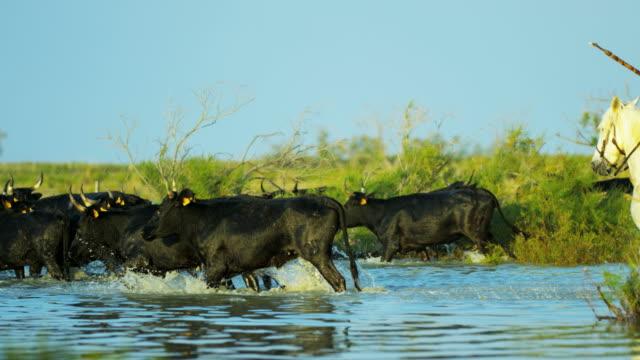 vídeos de stock, filmes e b-roll de mediterranean cowboy sea camargue black bull animal horse - montar um animal