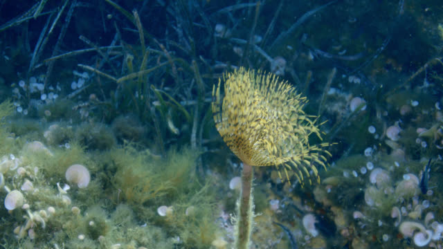 vidéos et rushes de mediterranean fanworm-spirographe (sabella spallanzanii) - vincent pommeyrol