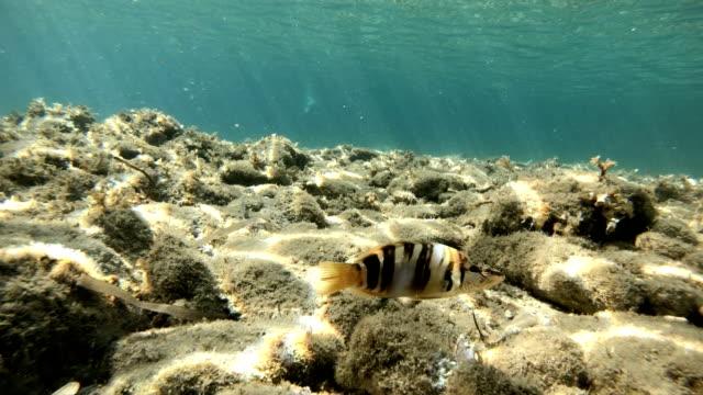 fisk från medelhavet - serranus scriba - bas bildbanksvideor och videomaterial från bakom kulisserna