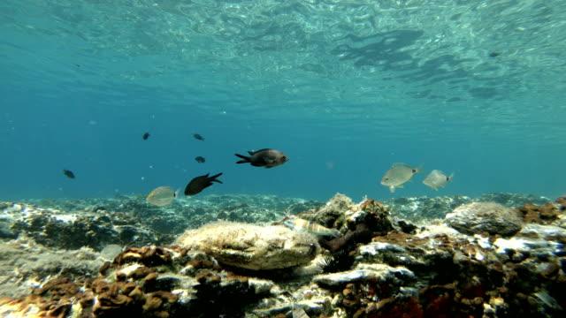 vídeos de stock e filmes b-roll de mediterranean fishes swimming - peixe