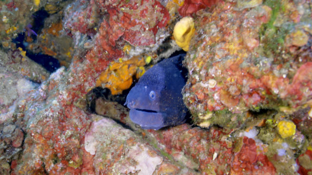 vidéos et rushes de mediterranean moray ( muraena helena) - vincent pommeyrol