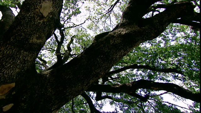 mediterranean oak tree. low-angle pan-left across the thick branches of an oak tree species quercus ilex native to the mediterranean region and is a... - botany stock videos & royalty-free footage