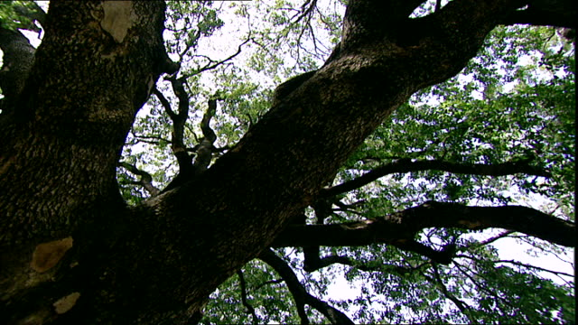 mediterranean oak tree. low-angle view of the thick branches of an oak tree species quercus ilex native to the mediterranean region and is a central... - pilgrimage stock videos & royalty-free footage