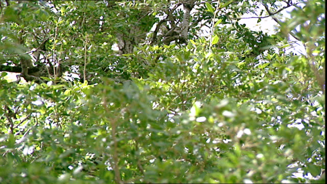 mediterranean oak tree. mcu on the evergreen leaves of an oak tree species quercus ilex. this ancient tree is native to the mediterranean region and... - botany stock videos & royalty-free footage