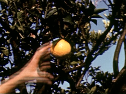 mediterranean sea at french riviera / young man picks oranges from tree and puts in wicker basket / hand picking orange / woman in white dress picks... - cote d'azur stock videos & royalty-free footage