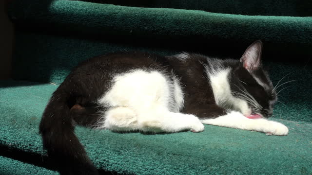 stockvideo's en b-roll-footage met medium, a black and white house cat cleans itself on green carpeted stairs, north carolina - achterover leunen