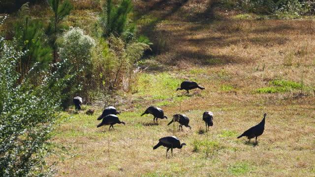 medium, a gang of wild turkeys foraging in a field, north carolina, usa - medium group of animals stock videos & royalty-free footage