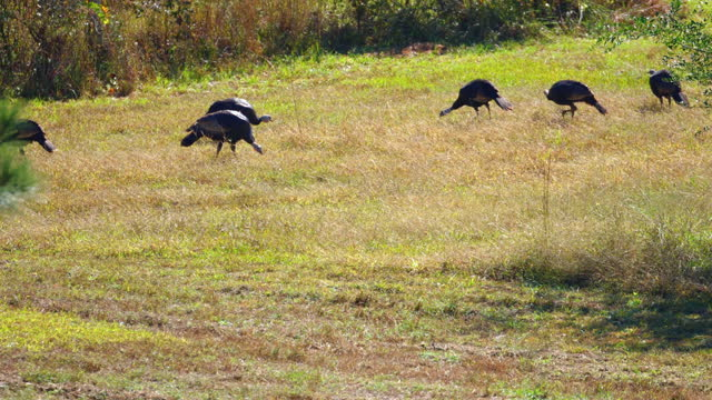medium, a gang of wild turkeys foraging in a field, north carolina, usa - foraging stock videos & royalty-free footage
