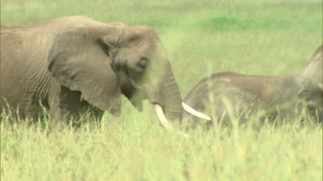 Medium - A herd of elephants moves across a grassy plain / Kenya