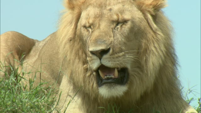 Medium - A lion rests in the grass and pants / Kenya