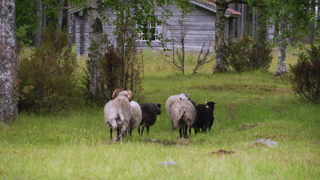 medium, a small flock of sheep in an old homestead, sweden - medium group of animals stock videos & royalty-free footage