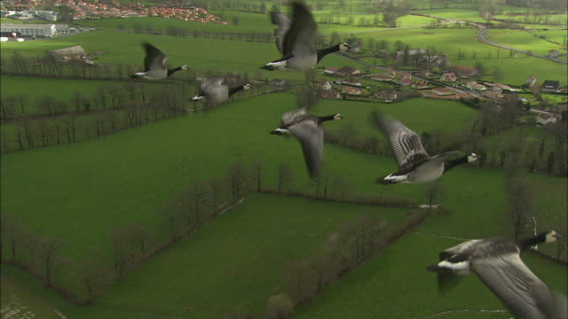 medium aerial - geese fly next to ultra light aircraft / france - medium group of animals stock-videos und b-roll-filmmaterial