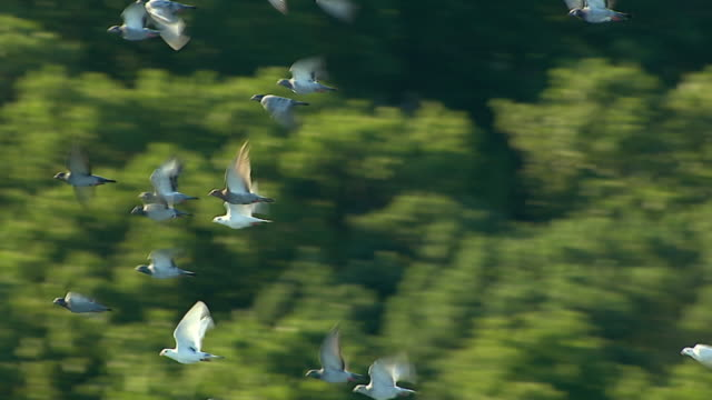medium  aerial pan-left tracking-left - a flock of pigeons flies close together. /  usa - 羽ばたく点の映像素材/bロール