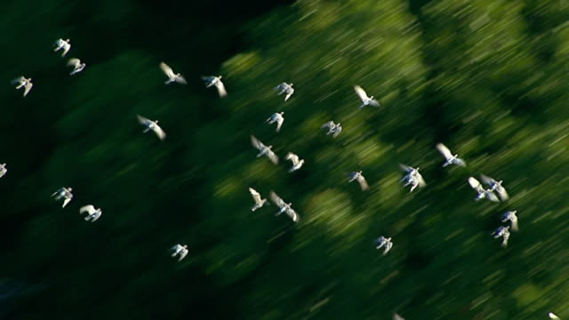 medium  aerial pan-right tilt-up - a flock of pigeons flies past tall, green trees. /  usa - uccello video stock e b–roll