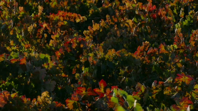 4k medium angle close up of backlit red and green grape leaves on the vine early autumn soft breeze moving the leaves - grape leaf stock videos and b-roll footage