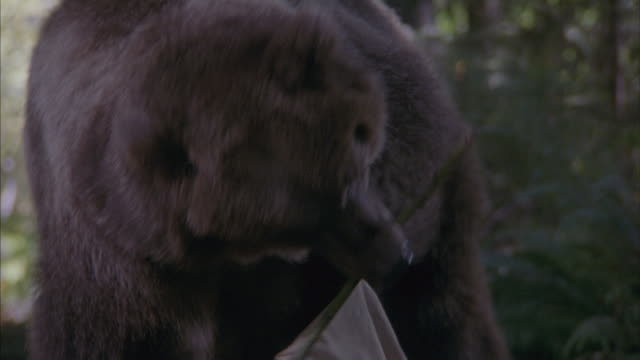 medium angle of man with metal can running away towards frame in forest. bear comes bounding from back and sniffs at piece of fabric, possibly at camp. bear stands up and sniffs more around ground.
