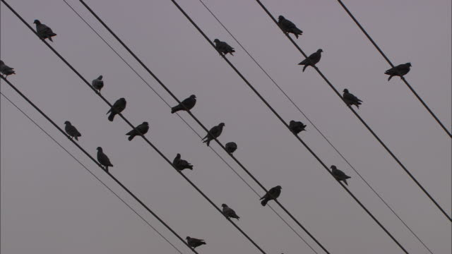 vidéos et rushes de medium  - birds perch on power lines, then fly away - câble