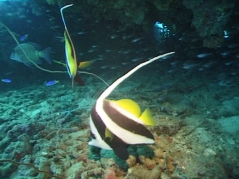 medium close up banner fish on coral floor - angelfish stock videos & royalty-free footage
