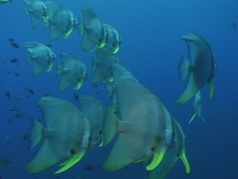 medium close up bat fish in open water swimming left to right - エンゼルフィッシュ点の映像素材/bロール