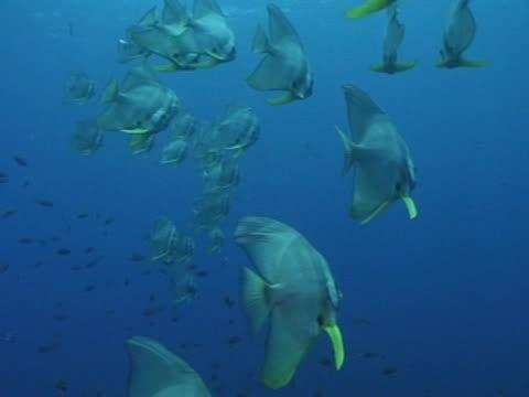 vidéos et rushes de medium close up bat fish in open water swimming left to right - fonds marins