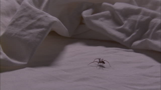 Medium Close Up - Brown recluse spider walks under sheets /