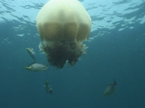 vidéos et rushes de medium close up crown jellyfish with a few fish also in frame - translucide