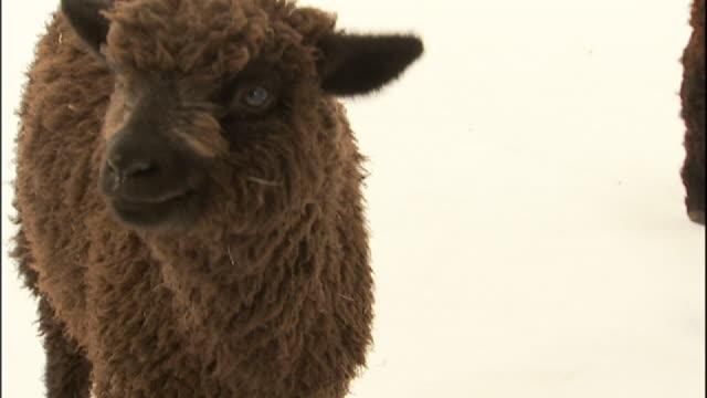 medium close up hand-held - a black lamb stands in a white room. - lamb animal stock videos and b-roll footage