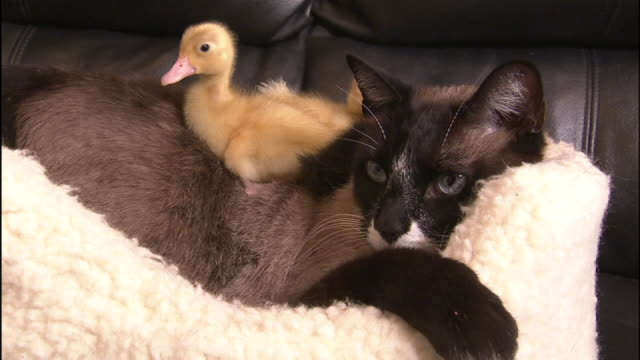 medium close up hand-held - a duckling sits on a snowshoe cat. - pet bed stock videos and b-roll footage